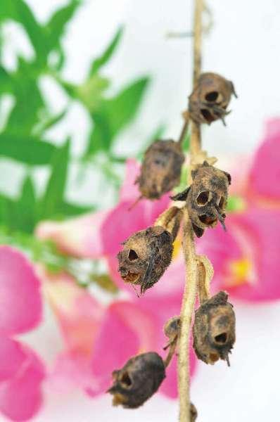 Totenkopf Pflanze